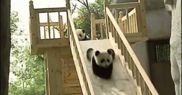 Panda bebés en la acción! Cuatro panda bebés lindos juegan: ¡qué lindo!